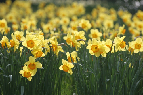 Bunch of Daffodils